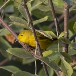 migrating birds track climate