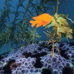 marine reserves don't preserve kelp
